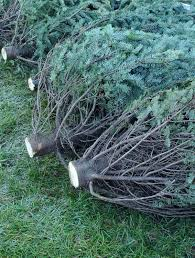 Christmas Tree Preservative Recipe by Christmas 2014 Where To Buy The Best Christmas Tree How To Pick