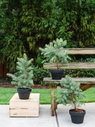 Types Of Christmas Trees To Plant by Winter Friendly Patio Plants Hgtv