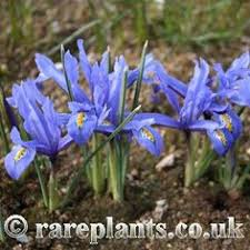 buy iris bulbs iris painted reticulata delivery by