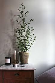 eukalyptus als zimmerpflanze suche pflanzen