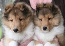 83 best i love shelties images on pinterest sheltie dogs and
