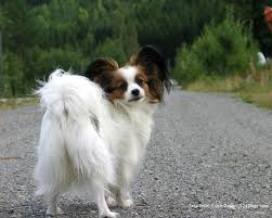 Small Dogs That Dont Shed Hair by Small Breed Long Haired Dogs Breed Dogs Picture