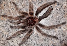 chilean rose tarantula molting
