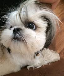 Shih tzu eye and crazy hair Shih Tzus Pinterest