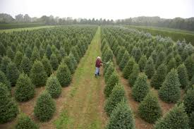 Types Christmas Trees Most Fragrant by A Christmas Tree Farm Grows In Mattituck Edible East End