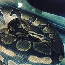 Ball Python Shedding Signs by Dr Lauren Thielen On Twitter