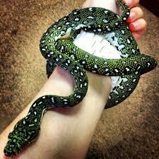 Coastal Carpet Python Facts by 35 Best Carpet Pythons Images On Pinterest Python Reptiles And