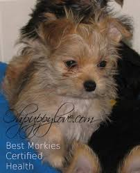 No Shed Dogs Illinois by Www Ohpuppylove Com Dog Breeds Morkie Shorkie Maltipoo Poodle