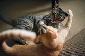 aggressive cat 10 tips to stop cat to cat aggression