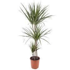 toom drachenbaum marginata grün 21 cm topf