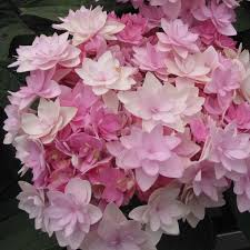best 25 hydrangea macrophylla ideas on green moon