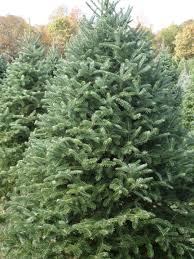 Canaan Fir Good Christmas Tree by Holly Ridge Tree Farm