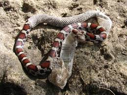 Snake Skin Shedding Lucky by None Shall Pass Bombs U2014into Devoid Hipsters Of The Coast