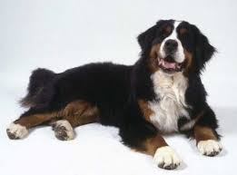 Non Shedding Large Dogs by Short Haired Dog Breeds Large Hairsstyles Co