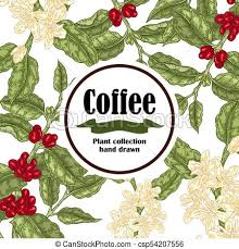 Banner With Coffee Plant Beans And Blooming Branch Vector Illustration