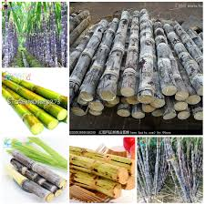 100 Www.home And Garden US 072 10 OFF50pcs Vegetable Fruits Bonsai Plants Sugar Cane Plantas For Home And Garden In Winter Decoration And Four Seasons On AliExpress