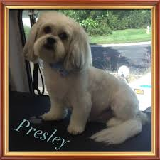 Shih Tzu Lhasa Apso Shedding by Aussie Pet Mobile Indianapolis Home Facebook