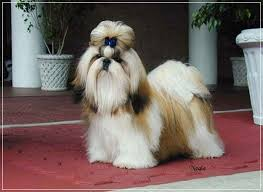 Dogs That Shed Less Hair by 20 Very Low Maintenance Dog Breeds