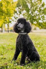 Large Dogs That Dont Shed by 20 Dogs That Don U0027t Shed Much Hypoallergenic Dog Breeds
