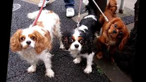 Non Shedding Hypoallergenic Small Dogs by Top 10 Cute Dog Breeds That Don U0027t Grow Cute Small Dog Breeds