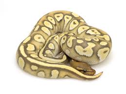Ball Python Bedding by Markus Jayne Ball Pythons Always Evolving