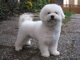 Top 10 Dogs That Dont Shed by Best Small Breed Dogs That Don T Shed Dog Breeds Puppies Small