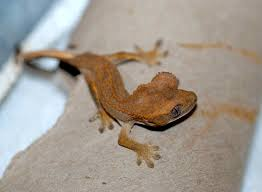 Crested Gecko Shedding Signs by Baby Gecko Update 2 Tough Little Birds