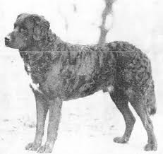 Do Newfoundlands Shed Hair by Teasing Apart The History Of The Newfoundland Dog The St John U0027s
