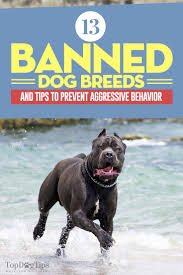 Cane Corso Mastiff Shedding by 13 Banned Dog Breeds And Tips To Prevent Aggressive Behavior