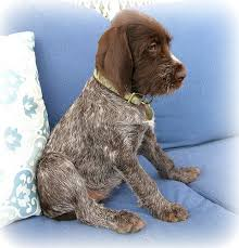 Griffon German Wirehaired Pointer Shedding by 28 Griffon German Wirehaired Pointer Shedding 1000 Ideas
