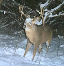 When Do Whitetails Shed Their Antlers by Wildcare Wildcare December 2009 Enews