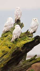 580 Best Raptors Images On Pinterest 3716 Best All About Owls Images On Pinterest Barn Owls Nature Winter Birding Guide Lake Champlain Region 53 Flight At Night Owl Species Farm House England Stock Photos Images 1538 Owls Photos Beautiful Birds 2552 Give A Hoot Children Large White Carraig Donn Mayo Sghilliard Glass Studio Little Opens In Westport Food Drink Nnecticutmagcom 250 Love You Always