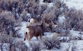 When Do Whitetails Shed Their Antlers by Antler Hunting Wyoming Horn Hunting