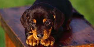 Do Bluetick Coonhounds Shed by Black And Tan Coonhound Information Characteristics Facts Names