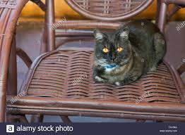 Black Cat Sits In A Wicker Rocking Chair Stock Photo ...