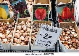 tulips bulbs for sale tulip bulbs sale in india stock photo