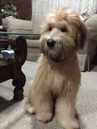Do Wheaten Terrier Puppies Shed by Soft Coated Wheaton Terrier Non Shedding Medium Sized Dogs