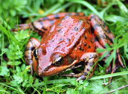 California Red Legged Frogs Are A Key Food For The Critically Endangered San Francisco Garter Snake Unfortunately Themselves Threatened By