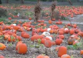 Piedmont Service Center Pumpkin Patch by Heather Fenyk Lower Raritan Watershed Partnership Page 3