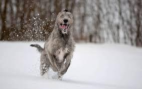 Irish Wolfhound Non Shedding by Great Dane Information Dog Breed Atlas