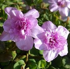 oxalis nidulans pompom the netherlands imports oxalis flowers