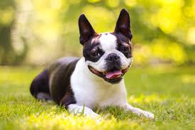 Quiet Small Non Shedding Dog Breeds by The Top 14 Small Dog Breeds U2014 Because Everybody Loves A Lap Dog