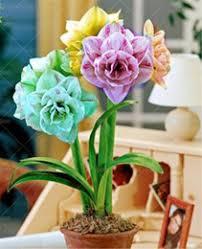 amaryllis bulbs amaryllis bulbs for sale