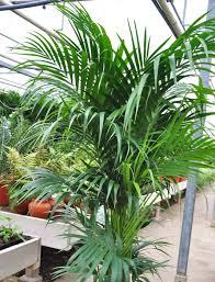 kentia palme howea die besten pflege und kauftipps