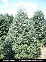 Fraser Fir Christmas Trees Delivered by Buy A Real Christmas Tree