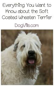 Do Wheaten Terrier Dogs Shed by Soft Coated Wheaten Terrier A Hypoallergenic Dog Breed
