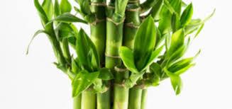 bambou nain en pot entretien pivoine etc