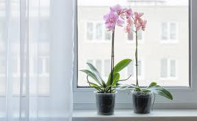 orchideen zum blühen bringen so gelingt s garantiert mein