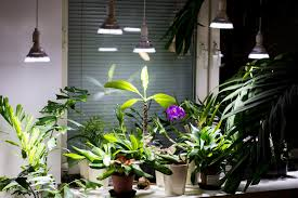 Grow Lamps For House Plants by Care For Flowering Plumeria Frangipani Indoors Part 4 5