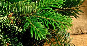 Fresh Cut Christmas Trees At Menards by Christmas Tree Care At Menards